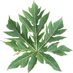 carica papaya leaves as treatment for A 2013 trial demonstrated that treatment using fresh papaya leaf extracts at a concentration of 02 ml significantly elevated the platelet r n waduge, et al, does carica papaya leaf-extract increase the platelet count an experimental study in a murine model, asian pacific journal.